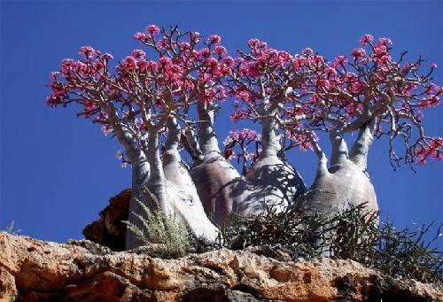 沙漠玫瑰树
